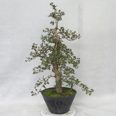 Outdoor Bonsai - Weißdorn rosa Blüten - Crataegus laevigata Pauls Scarlet - 4