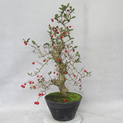 Bonsai im Freien - Weißblumen des Weißdorns - Crataegus laevigata - 4