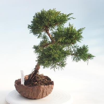Bonsai im Freien - Juniperus chinensis - chinesischer Wacholder - 4