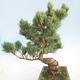 Bonsai im Freien - Pinus parviflora - kleinblumige Kiefer - 4/5