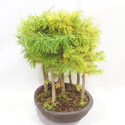 Bonsai im Freien - Pseudolarix amabilis - Pamodřín - Hain mit 9 Bäumen - 4