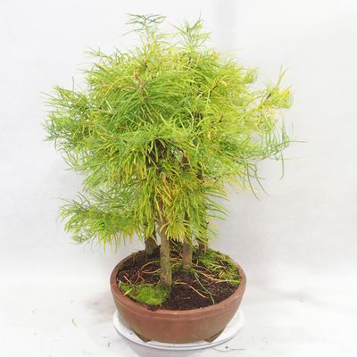 Bonsai im Freien - Pseudolarix amabilis - Pamodřín - Hain mit 5 Bäumen - 4