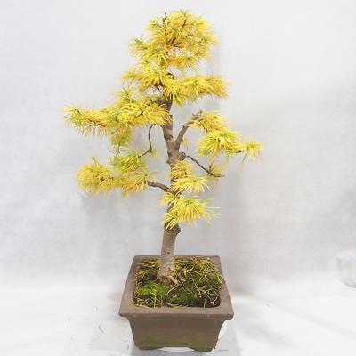 Bonsai im Freien - Pseudolarix amabilis - Pamodřín - 4