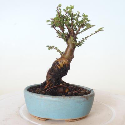 Outdoor-Bonsai - Ulmus parvifolia SAIGEN - Kleinblättrige Ulme - 4