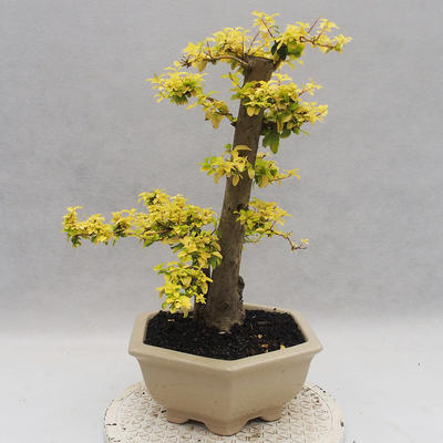 Indoor Bonsai -Ligustrum Aurea - Vogelschnabel - 4