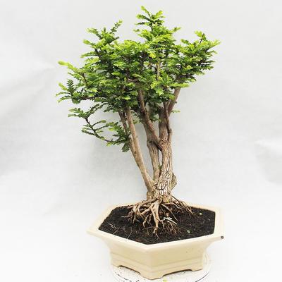 Indoor Bonsai -Phyllanthus Niruri- Smuteň - 4