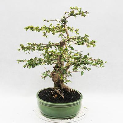 Indoor-Bonsai - Cudrania equisetifolia - 4