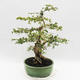 Indoor-Bonsai - Cudrania equisetifolia - 4/5