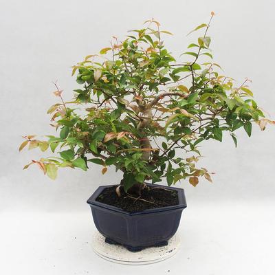 Indoor Bonsai - Australische Kirsche - Eugenia uniflora - 4
