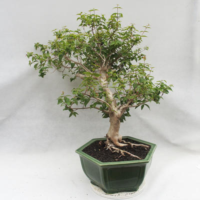 Indoor Bonsai - Australische Kirsche - Eugenia uniflora - 4