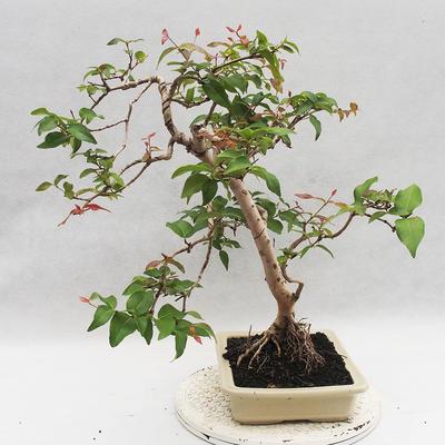 Zimmer Bonsai - Australische Kirsche - Eugenia uniflora - 4