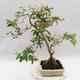 Zimmer Bonsai - Australische Kirsche - Eugenia uniflora - 4/5