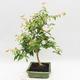 Zimmer Bonsai - Australische Kirsche - Eugenia uniflora - 4/4