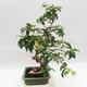 Indoor Bonsai - Australische Kirsche - Eugenia uniflora - 4/5