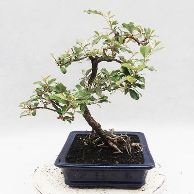 Indoor Bonsai -Eleagnus - Hlošina - 4