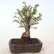 Outdoor-Bonsai - Ulmus parvifolia SAIGEN - Kleinblättrige Ulme - 4/7