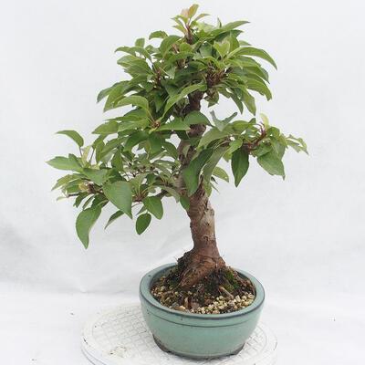 Outdoor-Bonsai -Malus Halliana - fruited Apfel - 4