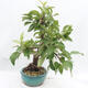 Outdoor-Bonsai -Malus Halliana - fruited Apfel - 4/6