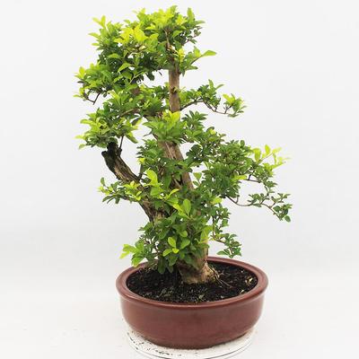 Indoor-Bonsai - Duranta erecta Aurea - 4