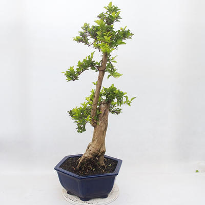 Indoor-Bonsai - Duranta erecta Aurea - 4