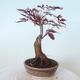 Outdoor-Bonsai - Acer-Palme. Atropurpureum-Rotes Palmblatt - 4/6