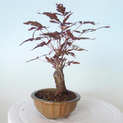 Outdoor-Bonsai - Acer-Palme. Atropurpureum-Rotes Palmblatt - 4