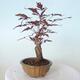 Outdoor-Bonsai - Acer-Palme. Atropurpureum-Rotes Palmblatt - 4/5