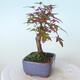 Outdoor-Bonsai - Ahorn palmatum DESHOJO - Ahorn palmate - 4/5