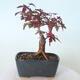 Outdoor-Bonsai - Ahorn palmatum DESHOJO - Ahorn palmate - 4/6