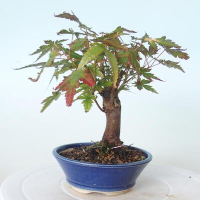 Outdoor-Bonsai - Ahorn palmatum sangokaku - Ahornpalmenblatt - 4