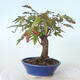 Outdoor-Bonsai - Ahorn palmatum sangokaku - Ahornpalmenblatt - 4/5