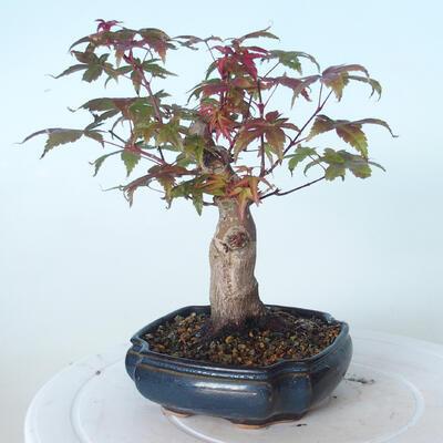 Outdoor-Bonsai - Ahorn palmatum DESHOJO - Ahorn palmate - 4