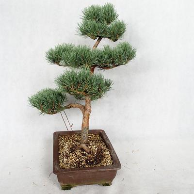 Außenbonsai - Pinus sylvestris Watereri - Waldkiefer VB2019-26852 - 4