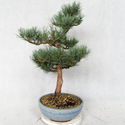 Außenbonsai - Pinus sylvestris Watereri - Waldkiefer VB2019-26859 - 4