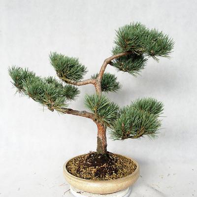 Außenbonsai - Pinus sylvestris Watereri - Waldkiefer VB2019-26868 - 4