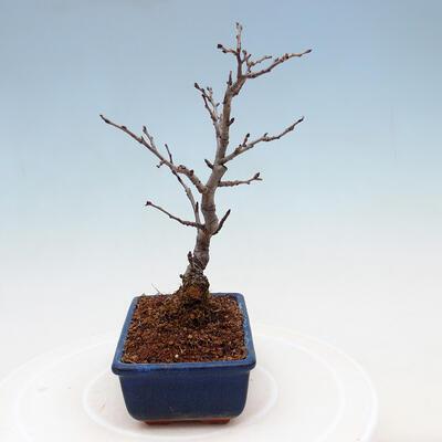 Außenbonsai - Pinus sylvestris Watereri - Waldkiefer VB2019-26870 - 4