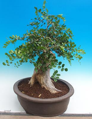 Zimmerbonsai - Muraya paniculata - 4