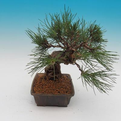 Pinus thunbergii - Kiefer thunbergova - 4