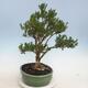Indoor Bonsai - Buxus harlandii - Kork Buchsbaum - 4/6