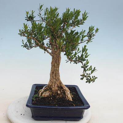 Indoor Bonsai - Buxus harlandii - Kork Buchsbaum - 4