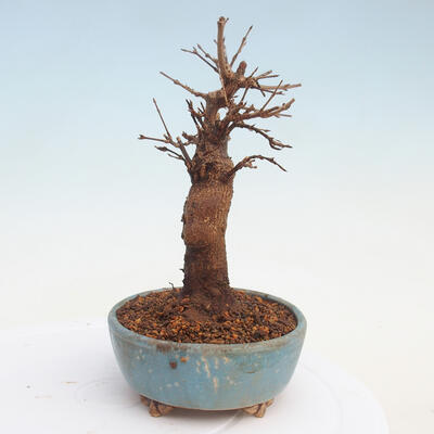 Bonsai im Freien - Buergerianum Maple - Burger Maple - 4