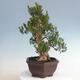 Innenbonsai - Buxus harlandii - Korkbuchsbaum - 4/5