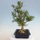 Innenbonsai - Buxus harlandii - Korkbuchsbaum - 4/7