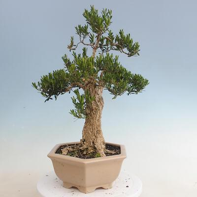 Innenbonsai - Buxus harlandii - Korkbuchsbaum - 4