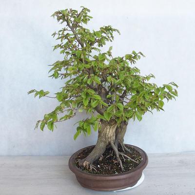 Bonsai im Freien Carpinus betulus- Hainbuche VB2020-485 - 4