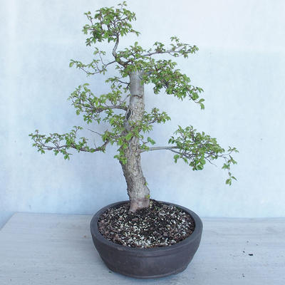 Outdoor Bonsai -Ulmus GLABRA Elm VB2020-495 - 4