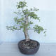 Outdoor Bonsai -Ulmus GLABRA Elm VB2020-495 - 4/5