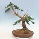 Bonsai im Freien - Juniperus chinensis - chinesischer Wacholder - 4/6