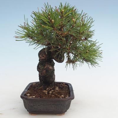 Pinus thunbergii - Thunberg Kiefer VB2020-572 - 4