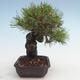 Pinus thunbergii - Thunberg Kiefer VB2020-572 - 4/5